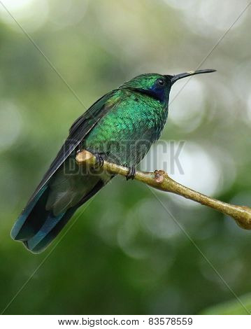 Green hummingbird perched on branch in Monteverde Biological Reserve, Costa Rica