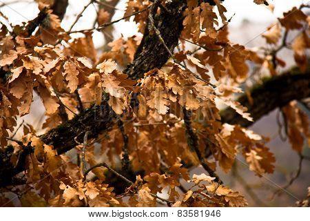 Marcescence, oak leaves