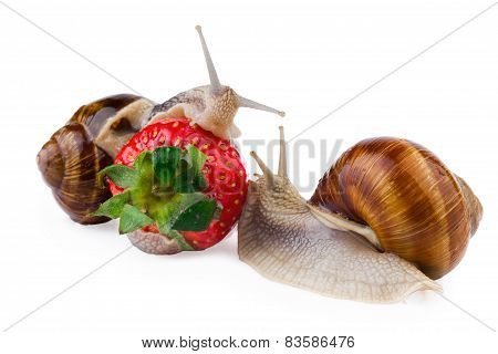 Garden Snails eating red strawberry