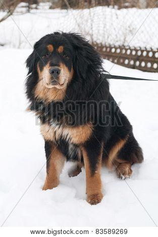 Tibetan Mastiff Sitting On  Snow