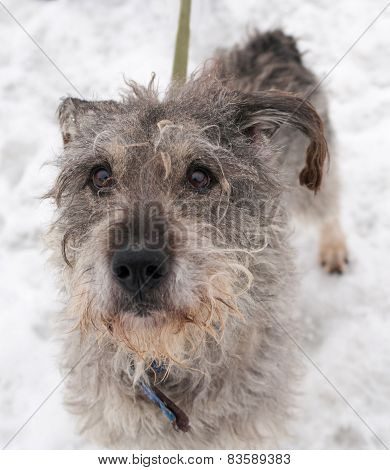 Dirty Gray Shaggy Dog Standing On Snow