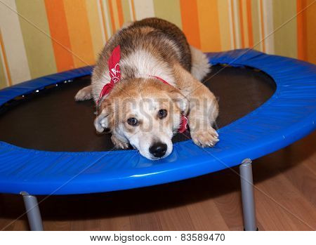Red Dog In Bandanna Lying On Trampoline