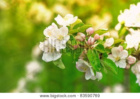 Blossoming Of Apple Tree Flowers Over Green Nature Background