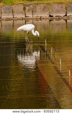 Great White Egret (Ardea Alba) fishing