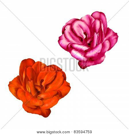 Red Camelia Flower isolated on white background. illustration