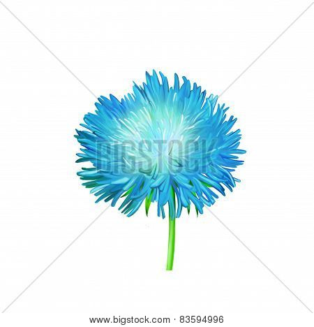 Aster. Blue flower, Spring flower. Isolated on white background