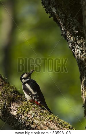 great spotted woodpecker, France