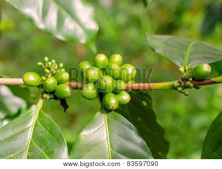 Arabica, Robusta Tree In Coffee Plantation In Laos