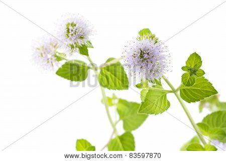 Water mint flower