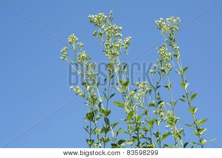 Sweet leaf plants flowers