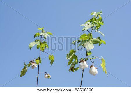 Ripe cotton plant