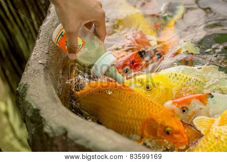 Feeding hungry fancy carp fish in the pool.