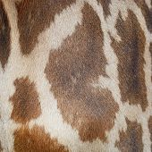 stock photo of herbivore animal  - Genuine leather animal skin of Giraffe  - JPG