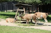 picture of lamas  - beautiful lamas alpaca in the zoo  - JPG