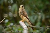 image of bird fence  - beautiful female Common Kestrel  - JPG