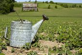foto of drought  - Vintage water can on drought stricken crop land - JPG