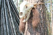 picture of cannibalism  - Close up of a old animal skull - JPG
