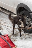 stock photo of sled-dog  - Sled Dog Chained by Truck Barks  - JPG