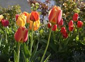 Постер, плакат: Colorful spring tulips
