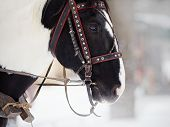 image of  horse  - Muzzle of a horse in a harness - JPG