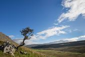 pic of windswept  - Windswept tree on a hillside in the Yorkshire Dales - JPG