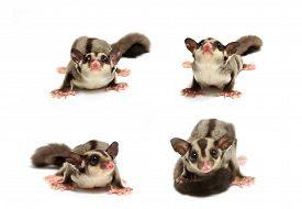 picture of possum  - young sugar glider looking photograp on white background - JPG