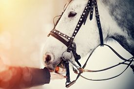 image of wild horse running  - Muzzle of a white horse in a harness - JPG