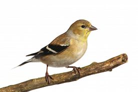 picture of goldfinches  - American Goldfinch  - JPG