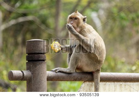 Monkey eating corncob