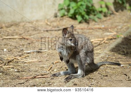 Closeup Of A Red-necked Wallaby Baby