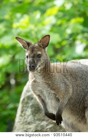 Closeup Of A Red-necked Wallaby (macropus Rufogriseus)