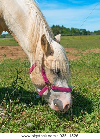 Horse With Red Bridle Eating Grass.