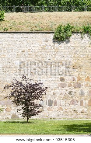 Burgundy Leaf Tree Against Medieval Limestone Wall In Sunny Park