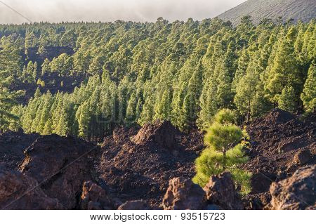 Coniferous Forest On Volcanic Land, Teide National Park, Tenerife Island