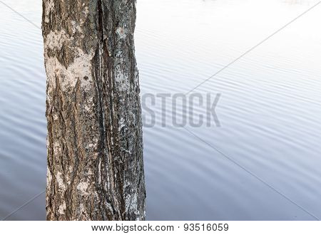 Single Birch Tree Trunk And Water