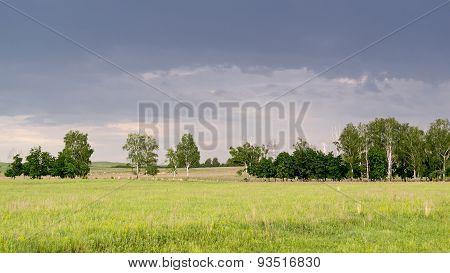 Line Of Birch Trees In Remote Landscape