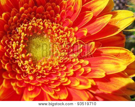 A close up of a gerbera flower