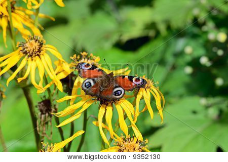 European Peacock Butterfly (inachis Io) On Summer Ragwort (ligularia Dentata) In Bright Sunshine