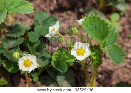 green bush with flowers in the garden strawberry. background outdoors