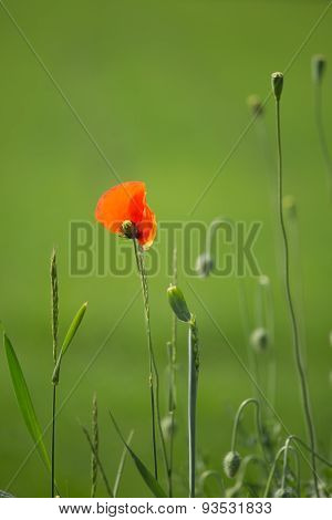 Red poppies in their natural habitat