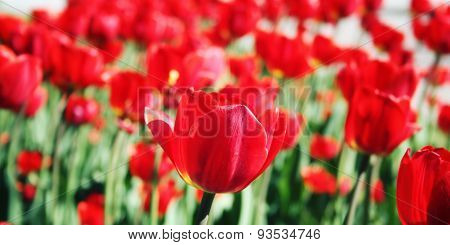 Red Tulips On The Flowerbed. Aged Photo. Macro.