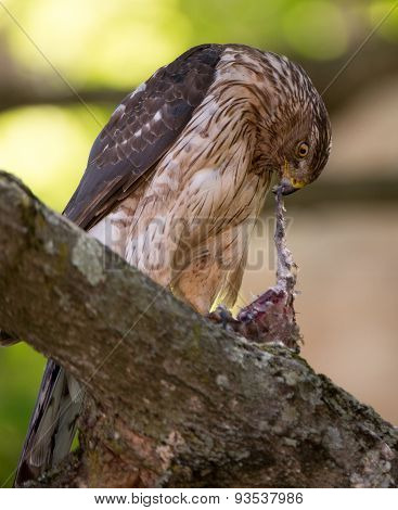 Cooper's Hawk Feeding On Bird