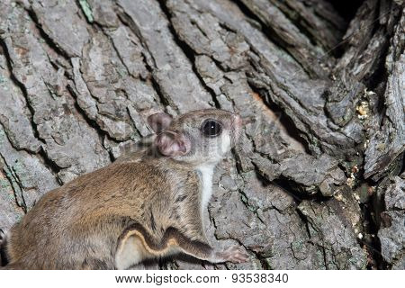 Fkying Squirrel On A Tree