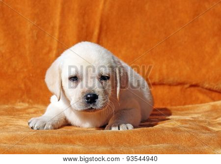 A Nice Yellow Labrador Puppy On Orange Background