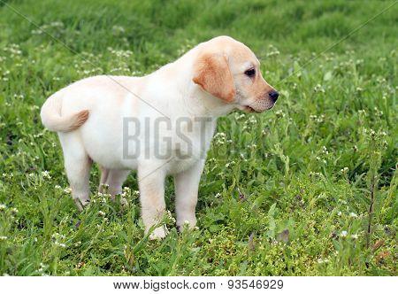 A Nice Yellow Labrador Puppy In Green Grass