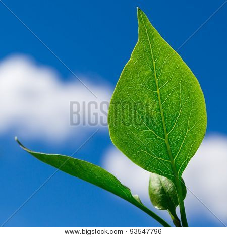 Green Leaf With A Blue Cloudy Sky