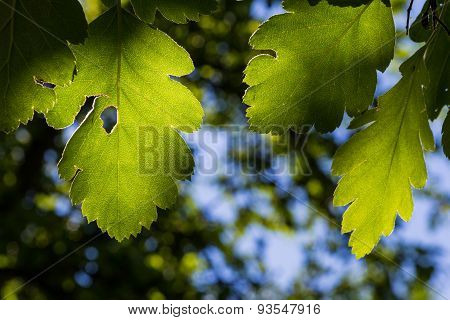 Green Leaves Backlit By The Sun