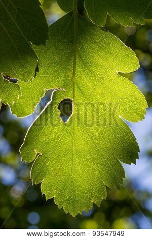 Green Leaf Backlit By The Sun