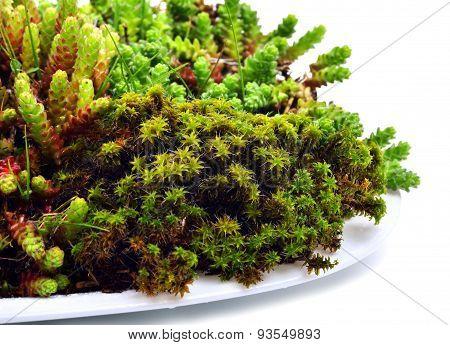 Green Moss And Lichen