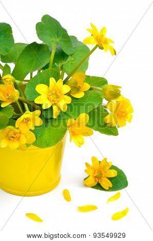 Yellow Marsh Marigold Isolated On White